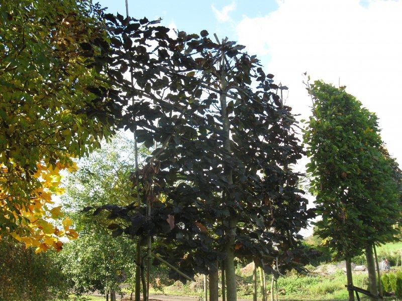 jardisart la p pini re arbres palisses h tre pourpre. Black Bedroom Furniture Sets. Home Design Ideas