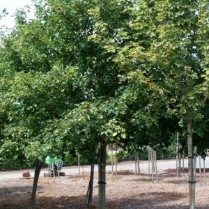 jardisart la p pini re arbres de grande taille erable plane feuilles panach es. Black Bedroom Furniture Sets. Home Design Ideas