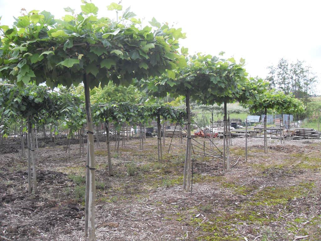 jardisart - la pépinière • arbres palisses • platane commun
