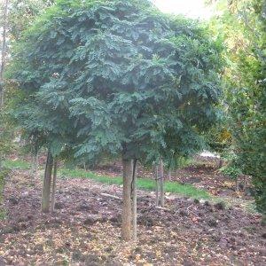 jardisart la p pini re arbres dits boule. Black Bedroom Furniture Sets. Home Design Ideas