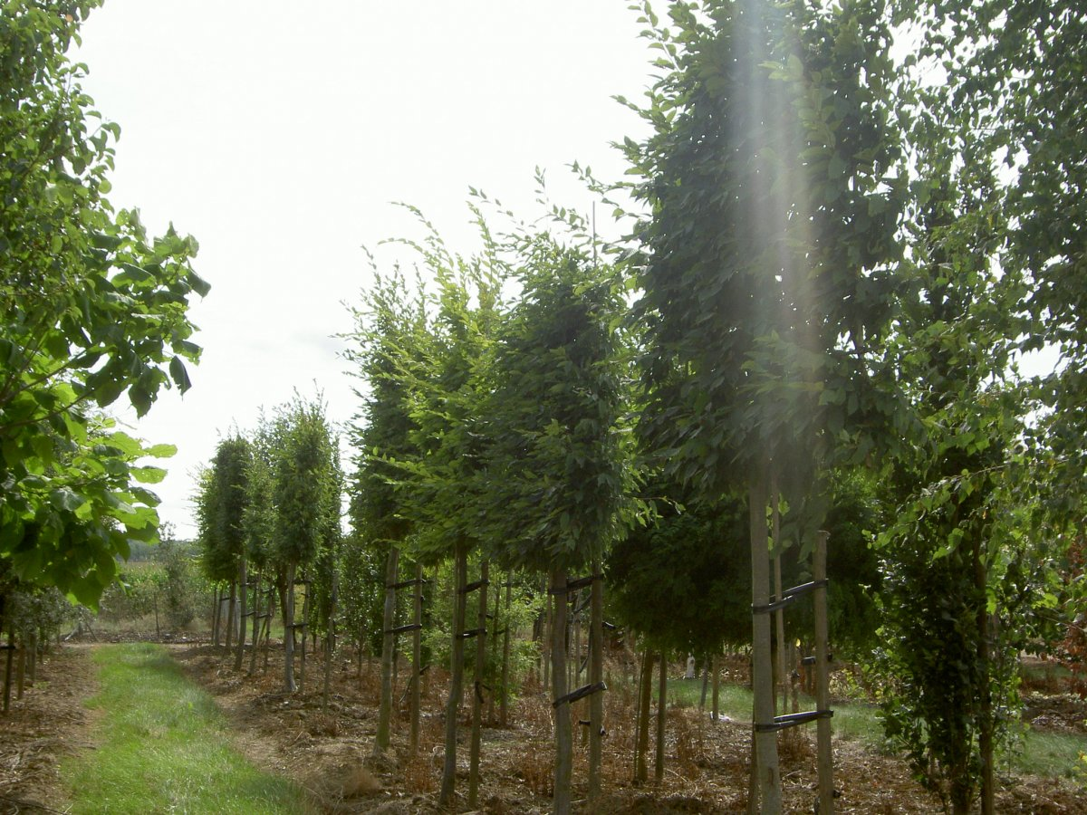 Arbre paliss persistant petit jardin bodure mtal et paillage pouzzolane plantation duarbres - Arbre petit jardin ...