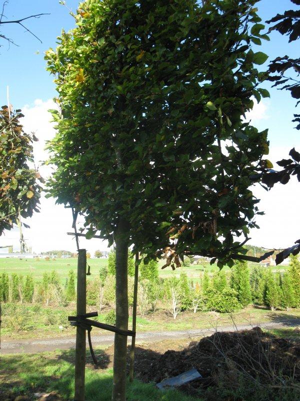 jardisart la p pini re arbres palisses h tre vert paliss. Black Bedroom Furniture Sets. Home Design Ideas