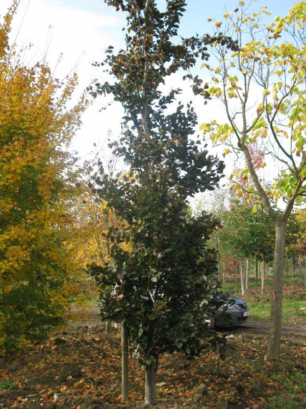 jardisart la p pini re arbres fastigi s h tre pourpre colonnaire. Black Bedroom Furniture Sets. Home Design Ideas
