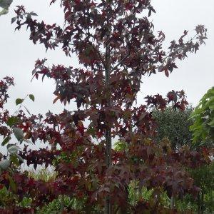 jardisart la p pini re arbres fastigi s. Black Bedroom Furniture Sets. Home Design Ideas