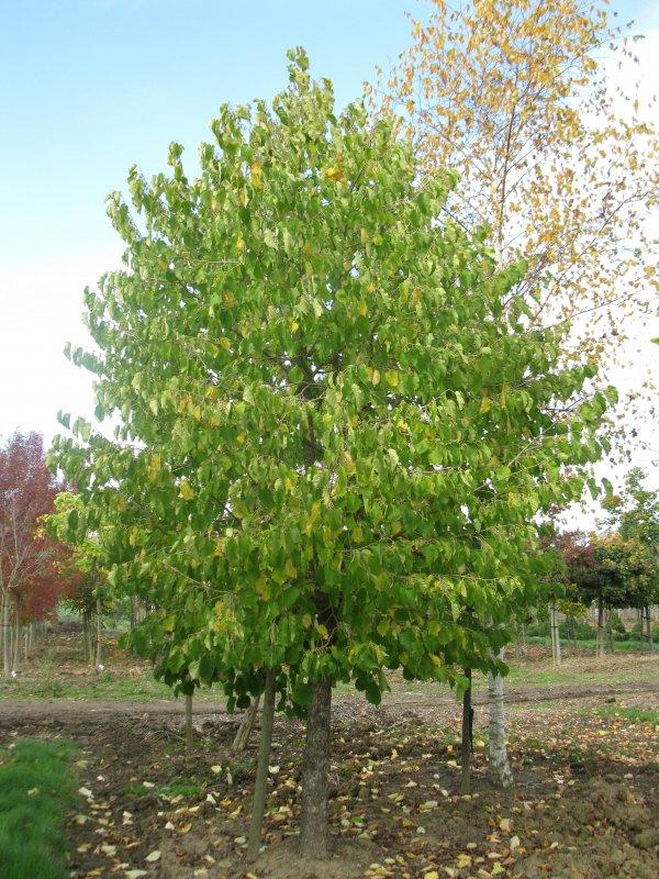 jardisart la p pini re arbres de grande taille noisetier de byzance. Black Bedroom Furniture Sets. Home Design Ideas