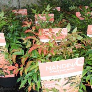jardisart la p pini re arbustes d 39 ornement nandina 39 magical sunrise 39. Black Bedroom Furniture Sets. Home Design Ideas