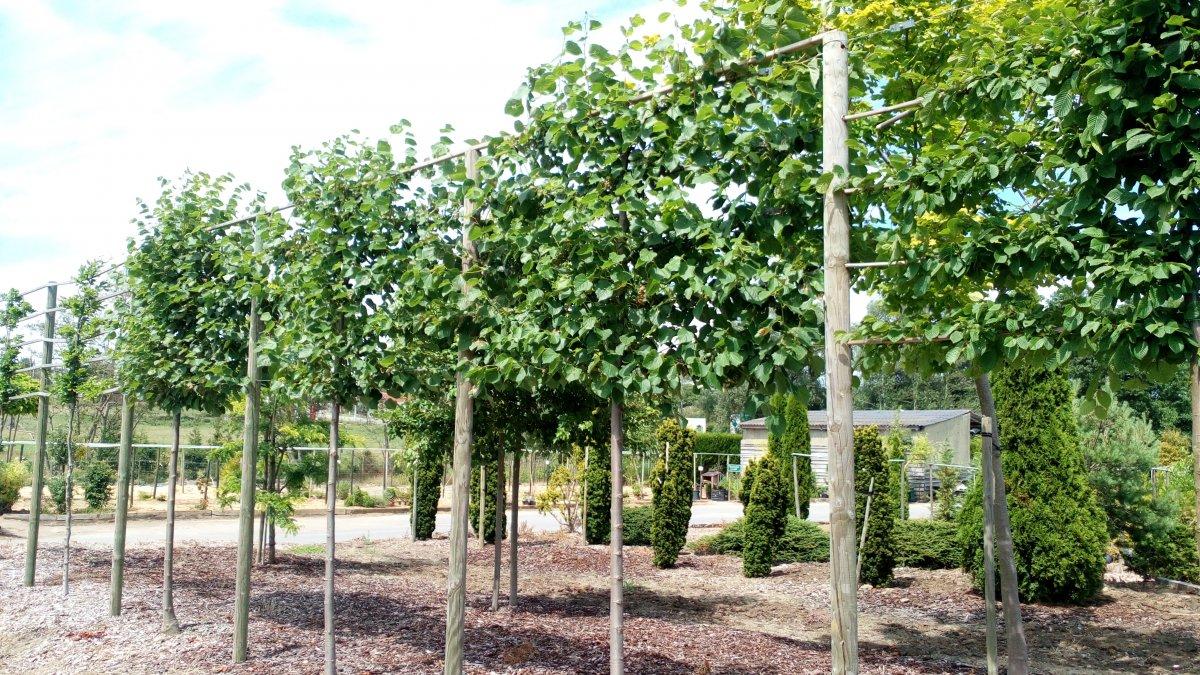 jardisart la p pini re arbres palisses tilleul petites feuilles. Black Bedroom Furniture Sets. Home Design Ideas