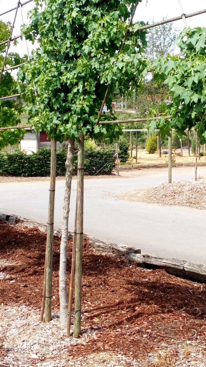 jardisart la p pini re arbres palisses copalme d 39 am rique paliss. Black Bedroom Furniture Sets. Home Design Ideas
